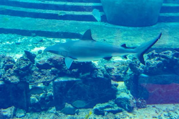 Zbliżenie: rekin rafowy w pobliżu miasta atlantis, sanya na wyspie hainan, chiny.