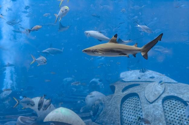 Zbliżenie: rekin rafowy w pobliżu miasta atlantis, sanya na wyspie hainan w chinach.