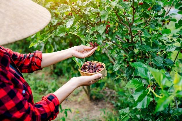 Zbliżenie rolnictwa lub rolnicy zbierają świeże morwy, czarne dojrzałe i czerwone niedojrzałe morwy na gałęzi drzewa. zdrowe owoce jagodowe.