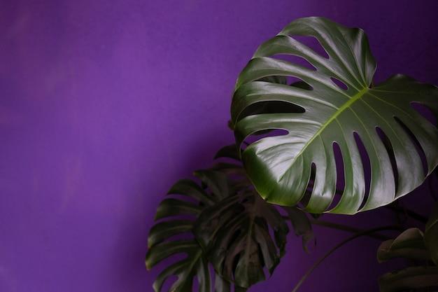 Zbliżenie roślina monstera na ciemnofioletowym tle kwitnie we wnętrzu domu