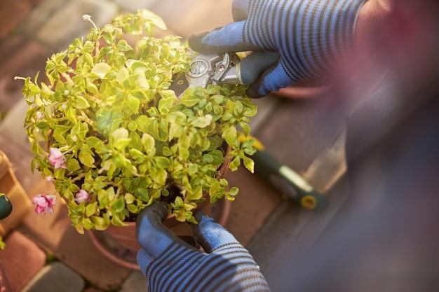Zbliżenie rośliny doniczkowej przycinanej szczypcami przez ogrodnika