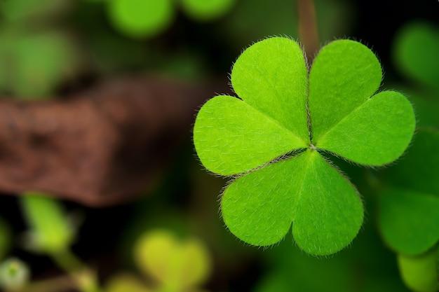 Zbliżenie rośliny, którą wiele osób określa jako koniczynę lub koniczynę, ma wiele zielonych liści.