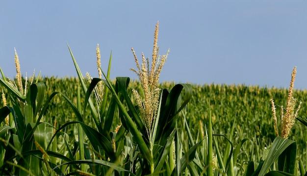 Zbliżenie rośliny kukurydzy z pomponem
