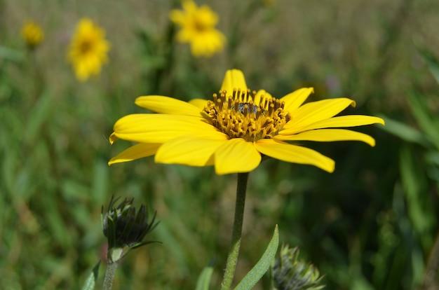 Zbliżenie rozkwitłego żółtego kwiatu topinamburu