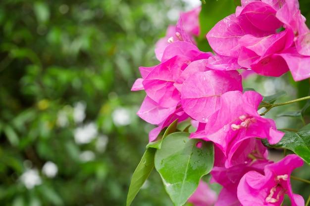 Zbliżenie: różowa bugenwilla, roślina kwitnąca.