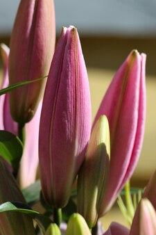 Zbliżenie różowe pąki lilii w słońcu