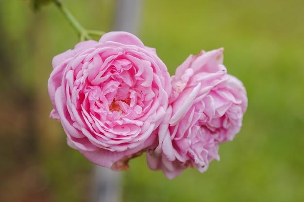 Zbliżenie różowe róże na tle zielonych liści w ogrodzie na świeżym powietrzu