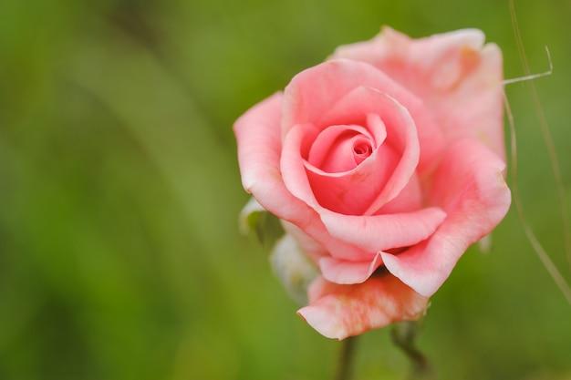 Zbliżenie różowe róże w ogrodzie na świeżym powietrzu nieostrość
