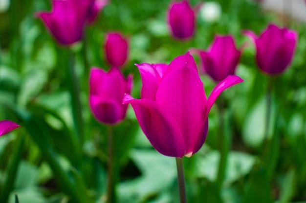 Zbliżenie różowe tulipany kwiaty z zielonymi liśćmi w parku na świeżym powietrzu.