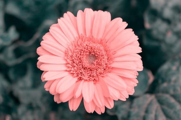 Zbliżenie różowego kwiatu gerbery na ciemnym tle