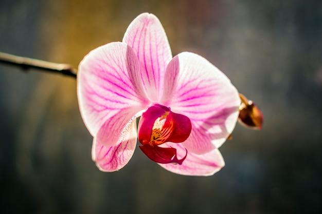 Zbliżenie różowego kwiatu orchidei