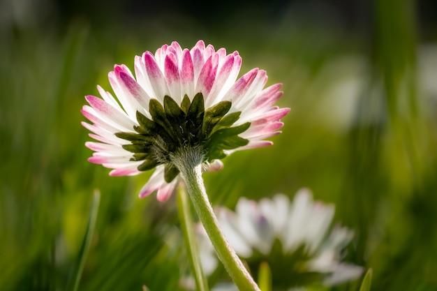 Zbliżenie różowego kwiatu stokrotki w polu