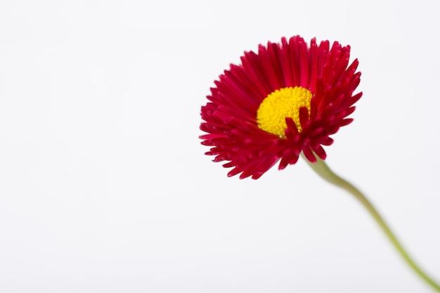 Zbliżenie różowej wiosny bellis stokrotki delikatny mały kwiat