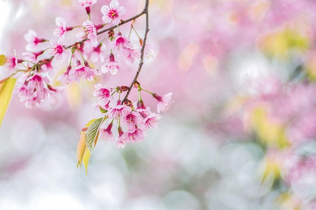 Zbliżenie różowi kwiaty dzika himalajska wiśnia z zamazanym tła bokeh, chiang mai, tajlandia (prunus cerasoides)
