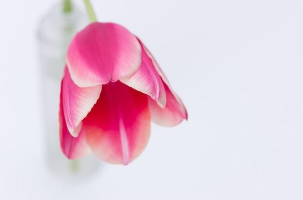Zbliżenie różowy tulipan kwiat na białym tle na białym tle z miejscem na tekst