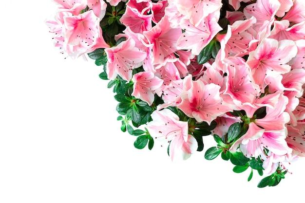 Zbliżenie różowych kwiatów azalii na białym tle