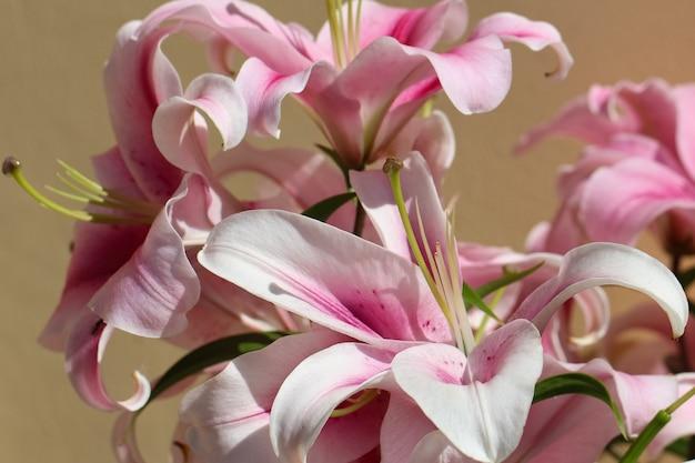 Zbliżenie różowych lilii w słońcu