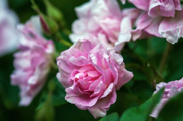 Zbliżenie różowych róż kwitnących żywopłotu późnym latem