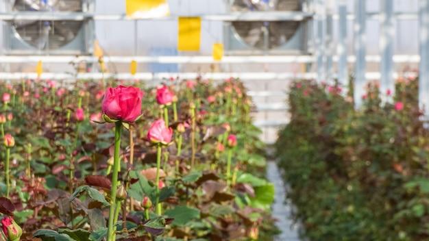 Zbliżenie róży na rozmytym tle kwiatów w szklarni