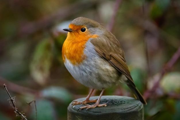 Zbliżenie rudzik siedzi na drewnie w ogrodzie