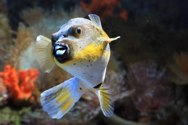 Zbliżenie ryby puffer