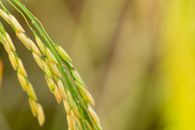 Zbliżenie ryżu niełuskanego tajskich rolników jest gotowe do zbioru.