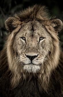 Zbliżenie: samiec lwa w parku narodowym serengeti