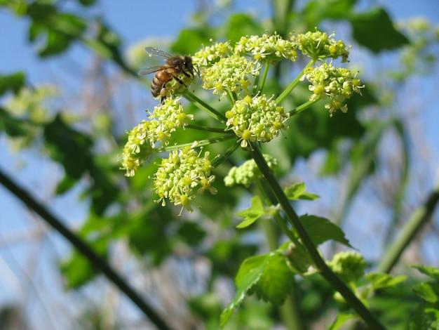 Zbliżenie selekcyjnej ostrości strzał pszczoła na apium nodiflorum z kwiatami