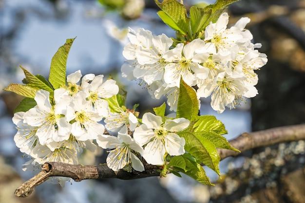 Zbliżenie selektywne focus strzał kwitnących białych kwiatów wiśni pod błękitnym niebem