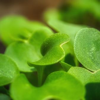 Zbliżenie selektywne focus strzał liści rzodkiewki - idealne dla tła