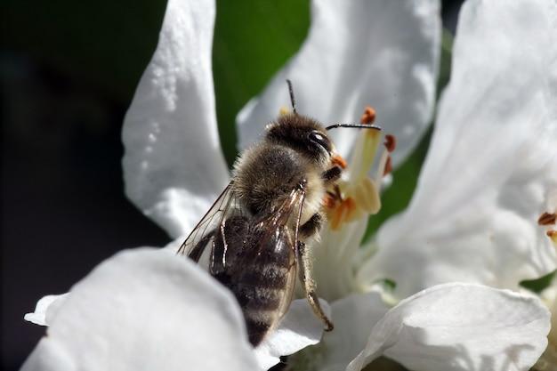 Zbliżenie selektywne focus strzał pszczoły na biały kwiat z zielenią