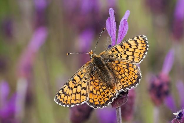 Zbliżenie selektywne focus strzał z pomarańczowego motyla siedzącego na fioletowej roślinie
