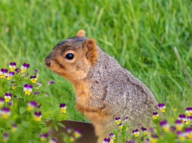 Zbliżenie selektywne fokus strzał pięknej wiewiórki na zielonym polu
