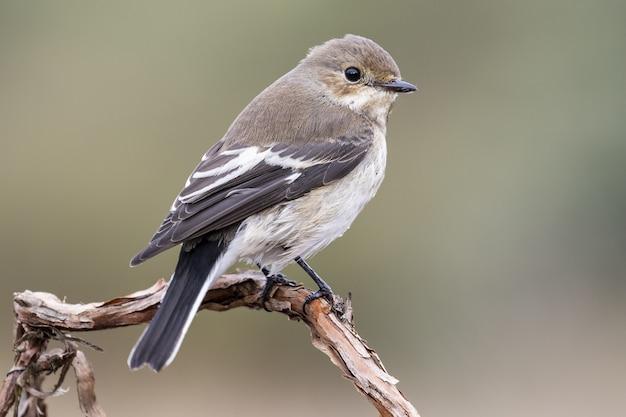 Zbliżenie selektywne fokus strzał piękny brązowy na czele cowbird