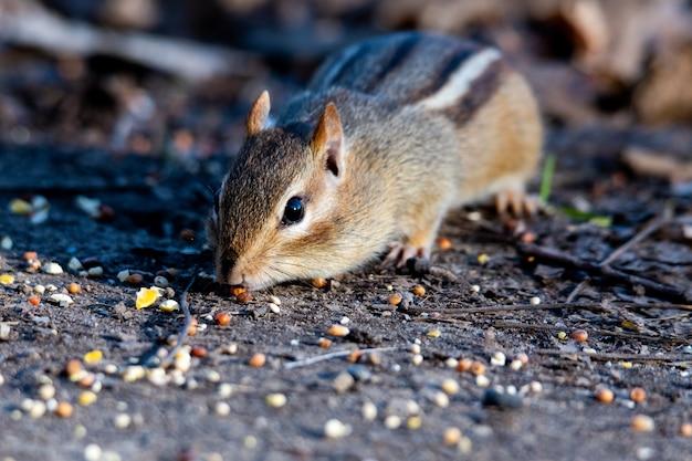 Zbliżenie selektywne fokus strzał wschodniej wiewiórki