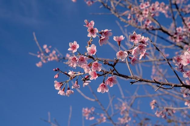 Zbliżenie selektywne skupiło się na wielu kwitnących różowych dzikich wiśniach himalajskich na gałęziach drzew na jasnym, jasnym tle błękitnego nieba