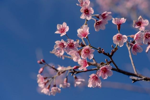 Zbliżenie selektywne skupione na wielu kwitnących różowych dzikich wiśniach himalajskich na gałęziach drzew na niebie