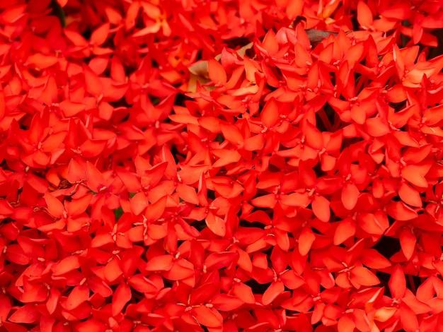 Zbliżenie selektywnej ostrości kwitnący czerwony kolec kwiat lub kolorowe tło ogrodowe ixora coccinea