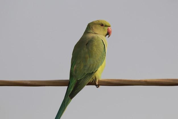 Zbliżenie ślicznej indyjskiej papugi pierścieniowej lub zielonej papugi siedzącej na drucie na tle błękitnego nieba