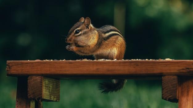 Zbliżenie ślicznej małej wiewiórki jedzącej orzechy na drewnianej powierzchni w polu