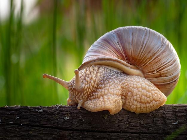Zbliżenie ślimaka w muszli na drewnie w parku z wysoką trawą