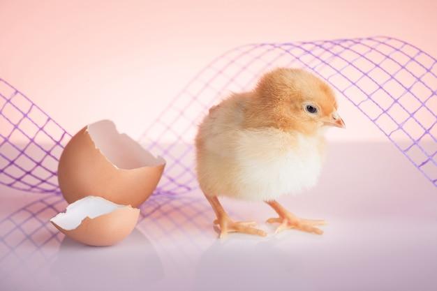 Zbliżenie słodkiego noworodka małego kurczaka