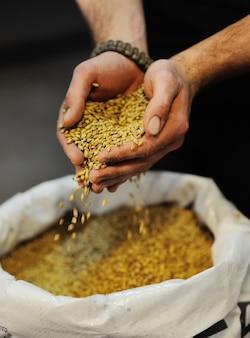 Zbliżenie słodu piwnego w męskie ręce