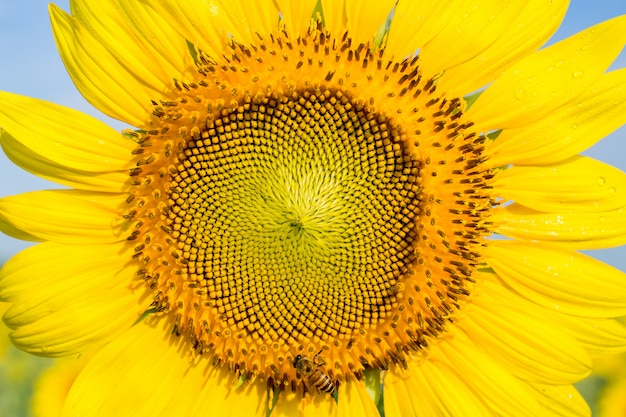 Zbliżenie słonecznik z pszczołą