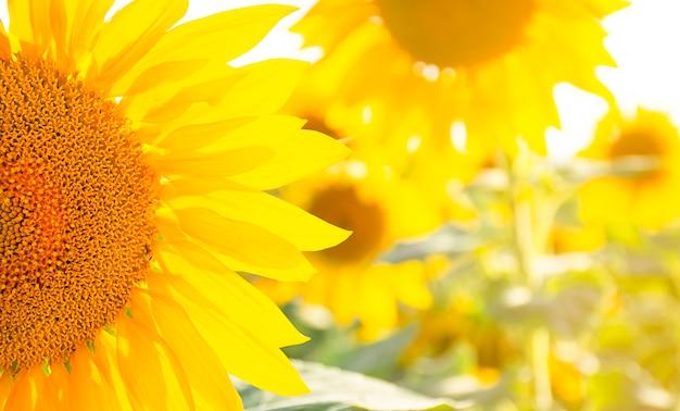 Zbliżenie słonecznika. pole z kwiatami. skopiuj miejsce.