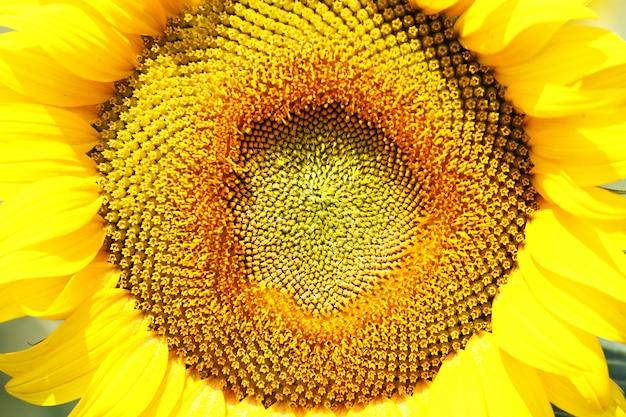 Zbliżenie słonecznika