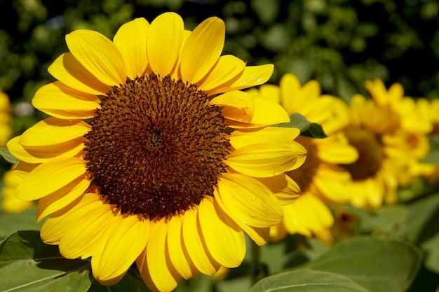 Zbliżenie słoneczniki w ogrodzie helianthus