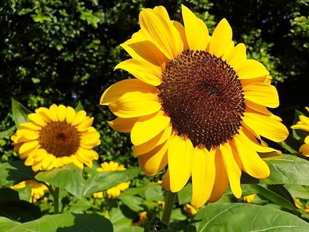 Zbliżenie słoneczniki w ogrodzie
