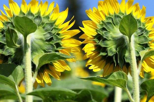 Zbliżenie słoneczników na polu pod słońcem