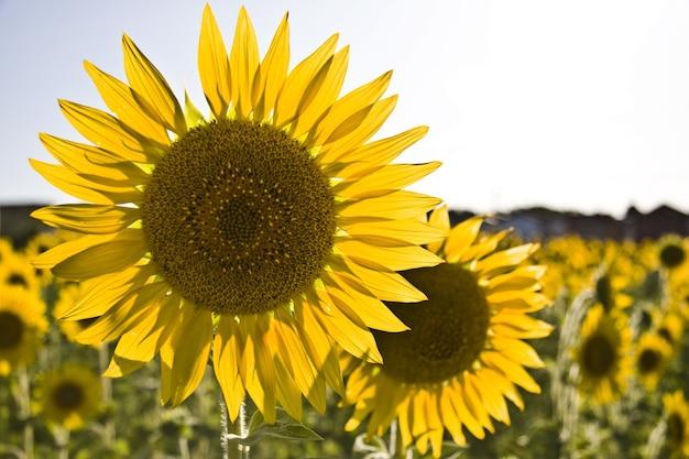 Zbliżenie słoneczników w polu pod słońcem